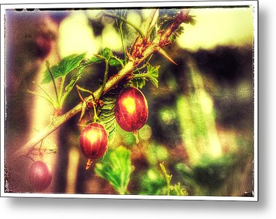 Metal Print featuring the photograph Gooseberry Fool by Isabella F Abbie Shores FRSA