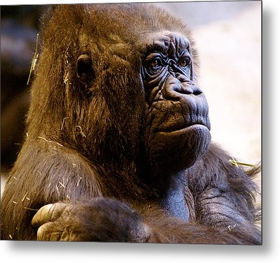 Gorilla Headshot Metal Print by Sonja Anderson