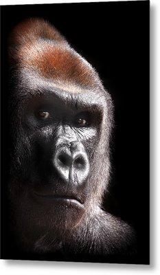 Gorilla ... Kouillou Metal Print by Stephie Butler