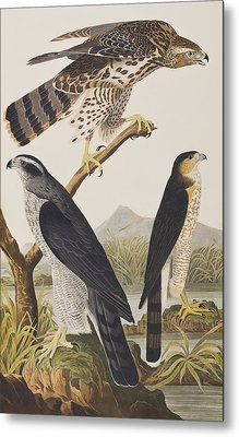 Goshawk And Stanley Hawk Metal Print by John James Audubon