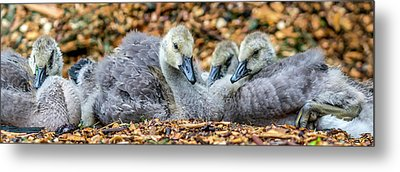 Goslings Metal Print by Irwin Seidman