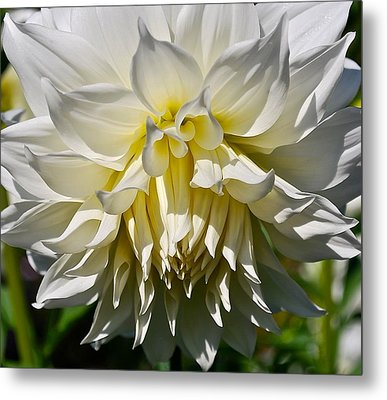 Graceful Dahlia  Metal Print
