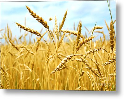 Grain Field Metal Print