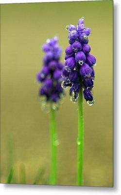 Grape Hyacinth Metal Print by Joseph Skompski