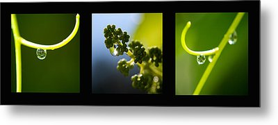 Grape Vines And Water Drops Triptych Metal Print by Lisa Knechtel