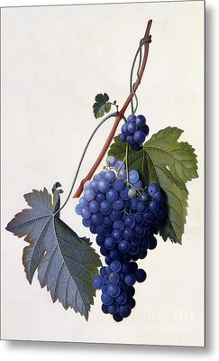 Grapes Metal Print by Georg Dionysius Ehret