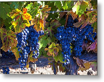 Grapes Ready For Harvest Metal Print by Garry Gay