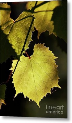 Grapevine In The Back Lighting Metal Print by Michal Boubin