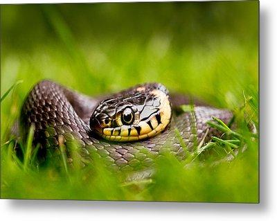 Grass Snake - Natrix Natrix Metal Print by Roeselien Raimond
