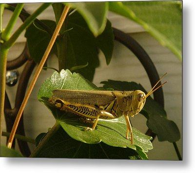 Grasshopper Metal Print by John Julio