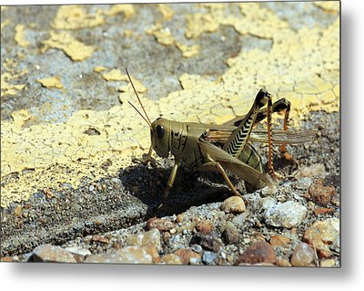 Grasshopper Laying Eggs Metal Print