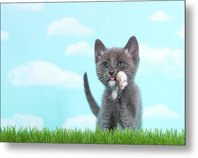Gray And White Tabby Kitten Calling Out In Tall Grass Metal Print by Sheila Fitzgerald