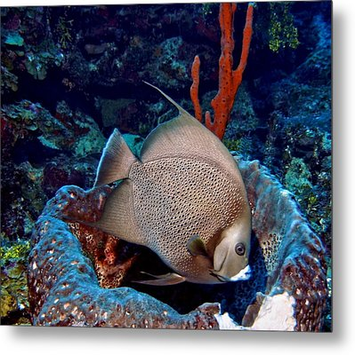 Gray Angel Fish And Sponge Metal Print