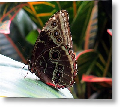 Gray Cracker Butterfly Metal Print by Betty Buller Whitehead