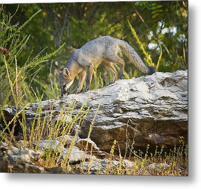 Gray Fox Hunting The Bluff Metal Print