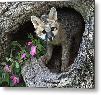 Gray Fox Kit Metal Print
