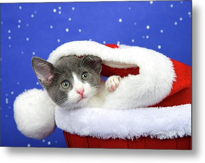 Gray Tabby Kitten Waiting For Santa Metal Print by Sheila Fitzgerald