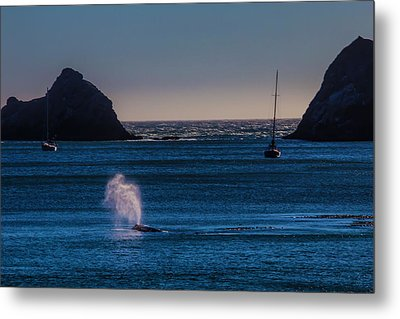 Gray Whale In Calm Bay Metal Print by Garry Gay