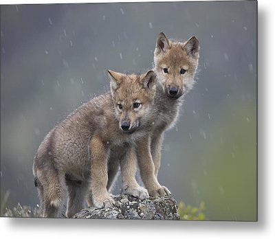 Gray Wolf Canis Lupus Pups In Light Metal Print by Tim Fitzharris
