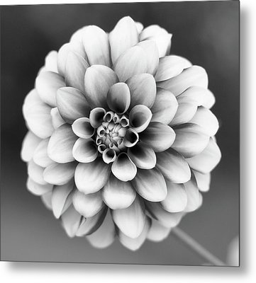 Graytones Flower Metal Print by Photography På