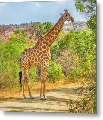 Grazing Giraffe Metal Print by Stephen Stookey