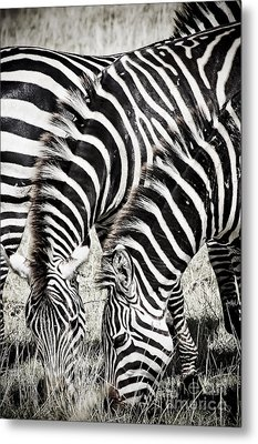 Grazing Zebras Close Up Metal Print by Darcy Michaelchuk