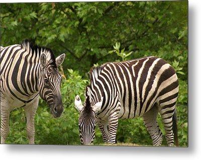 Grazing Zebras Metal Print by Sonja Anderson