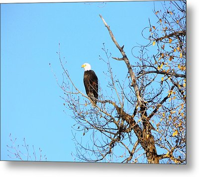 Great American Bald Eagle Metal Print