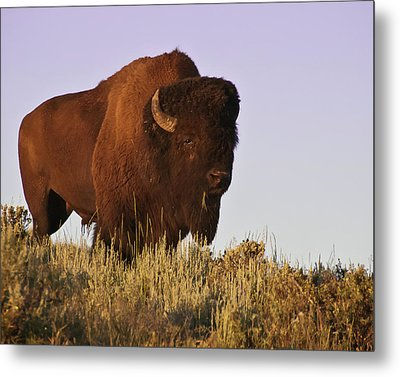 Great American Bison Metal Print