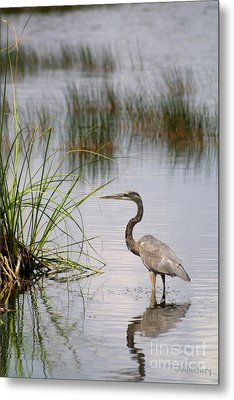 Metal Print featuring the photograph Great Blue by Dodie Ulery