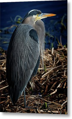 Metal Print featuring the photograph Great Blue Heron 2 by Randy Hall