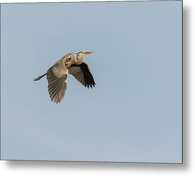 Metal Print featuring the photograph Great Blue Heron 2015-15 by Thomas Young