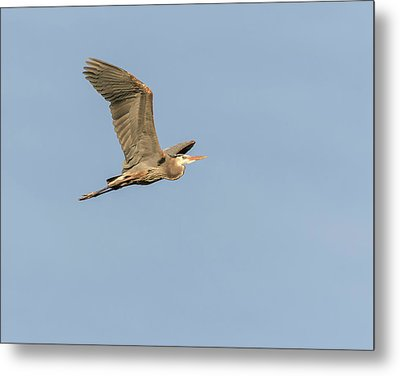 Metal Print featuring the photograph Great Blue Heron 2015-17 by Thomas Young