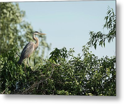 Metal Print featuring the photograph Great Blue Heron  2015-18 by Thomas Young