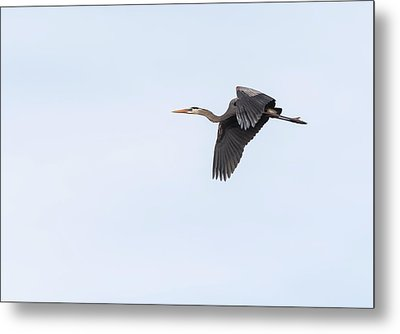 Great Blue Heron 2017-1 Metal Print by Thomas Young