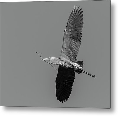 Metal Print featuring the photograph Great Blue Heron 2017-2 by Thomas Young