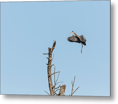 Great Blue Heron 2017-3 Metal Print by Thomas Young