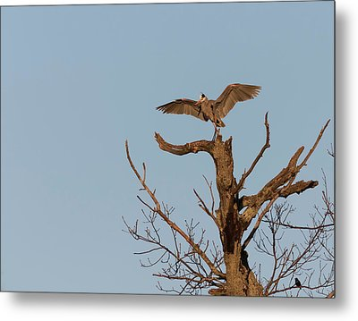 Great Blue Heron 2017-7 Metal Print by Thomas Young