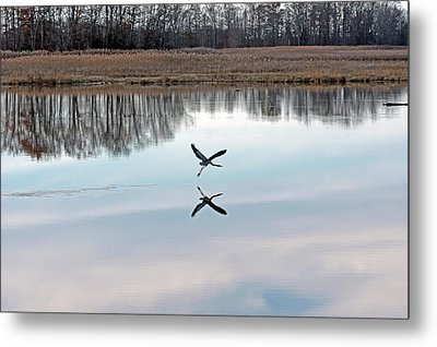 Great Blue Heron At Take-off Metal Print
