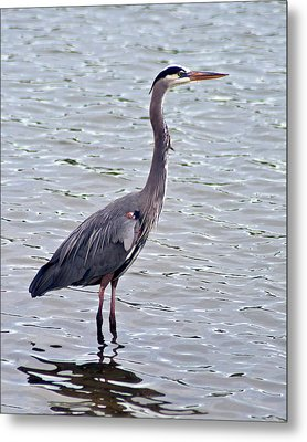 Metal Print featuring the photograph Great Blue Heron by Bill Barber