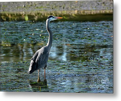 Metal Print featuring the photograph Great Blue Heron Catching The Light by Susan Wiedmann