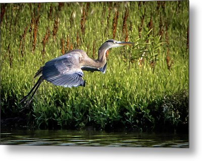 Great Blue Heron Metal Print by Cathy Cooley