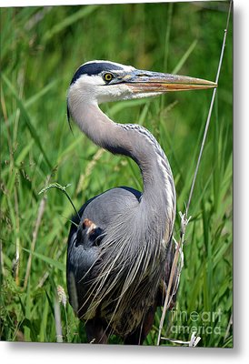 Great Blue Heron Close-up Metal Print