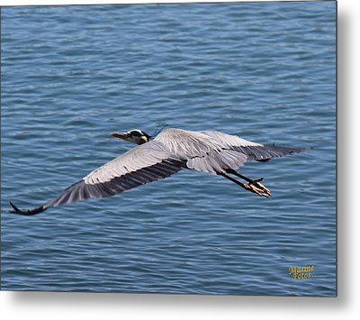 Great Blue Heron Flying Over Morro Bay Metal Print