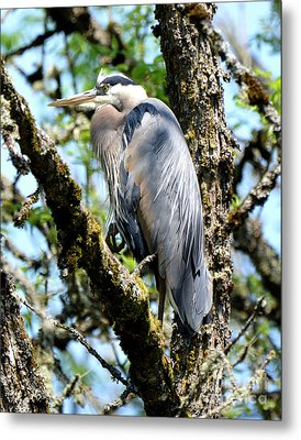 Great Blue Heron In A Tree Metal Print