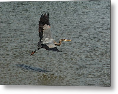 Metal Print featuring the photograph Great Blue Heron In Flight by Kathleen Stephens