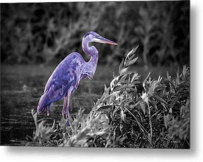 Great Blue Heron In Marsh - Color Select Metal Print