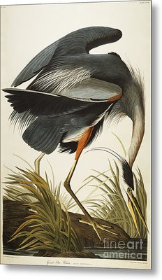 Great Blue Heron Metal Print by John James Audubon