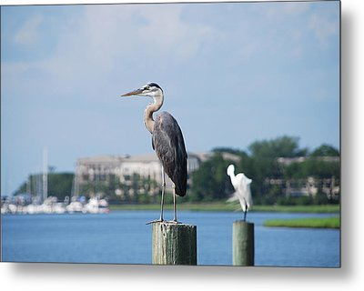 Metal Print featuring the photograph Great Blue Heron by Margaret Palmer