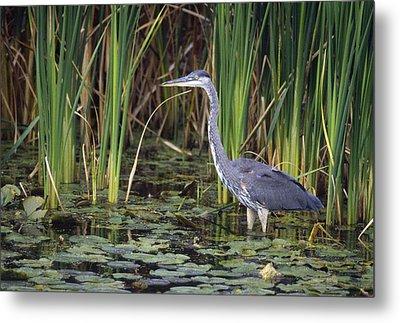 Great Blue Heron Metal Print by Natural Selection David Spier